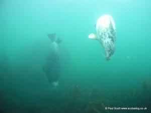 Grey Seals Isle of May Sept 2009