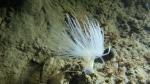 sealoch anemone