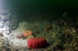 Anenomes closed on the Sea Bed
