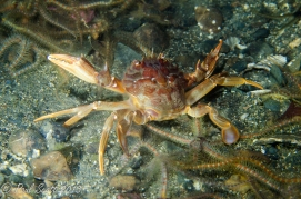Harbour Crab