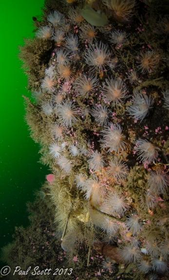 Protanthea simplex - Sea loch anemones Kentallen Reef