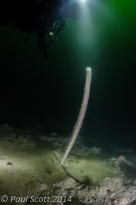 Funiculina quadrangularis - Tall sea pen