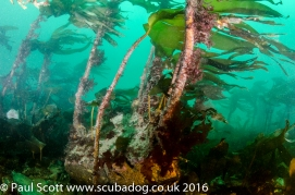 Kelp Forest at the Garvellachs
