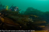 Hiding from the Current in the Kelp at the Gavellachs