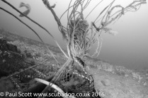 Lobster Pots fouled on the Glanmire Wreck