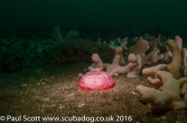 Closed Horseman Anemone Urticina eques amongst the Wreckage of the Glanmire St Abbs