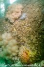 Elegant Anemones feeding on Moon Jellyfish on the Propeller of the Meldon