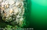 Bass Rock July 2016-7512